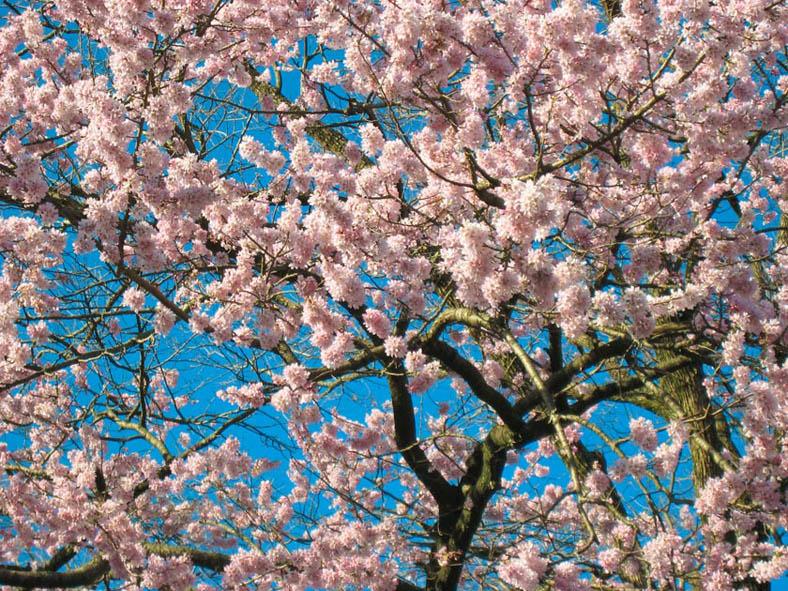 Цветы, сакура, япония