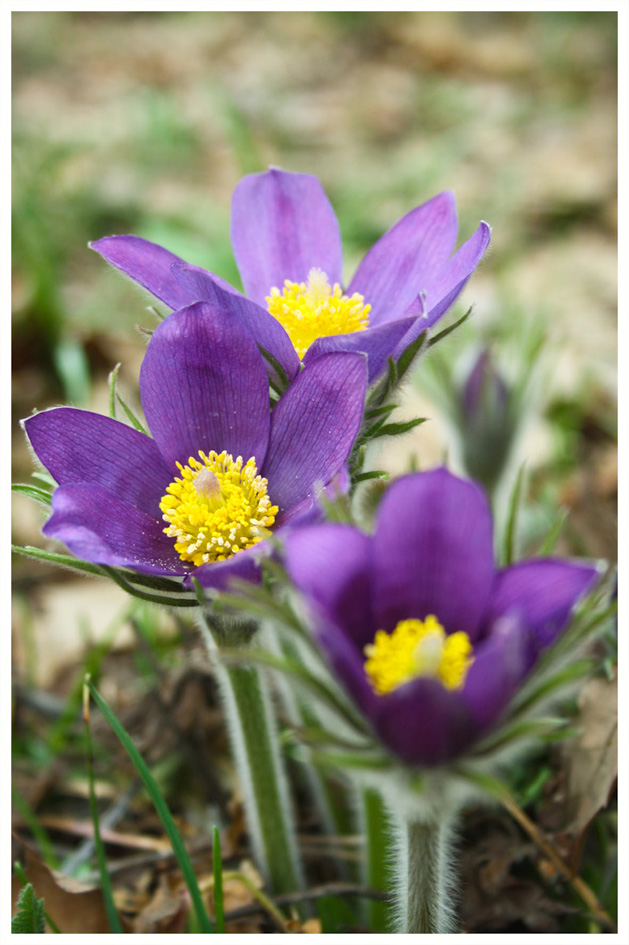 Подснежники, цветы весны